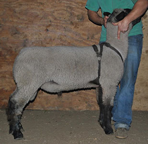 Goodwin Club Lambs :: Reference Sires